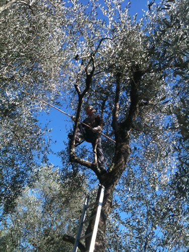 Harvest of taggiasca olive